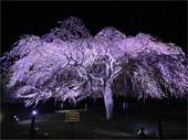 さくらの里夜桜_JALAN_210404.jpg